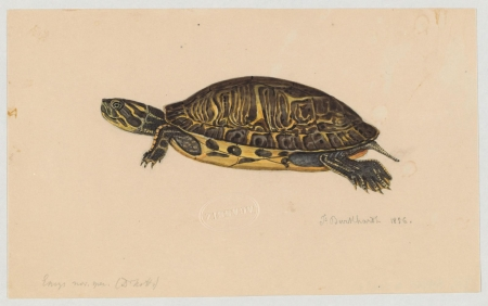 A drawing of an Emys turtle created by Jacques Burkhardt in 1856.